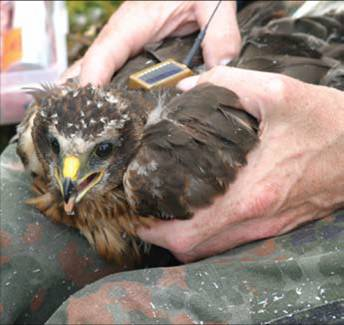 A young hen harrier being fitted with a sat tag (photo: Natural England)