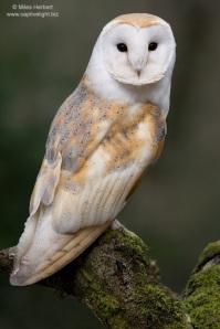 Barn Owl Miles Herbert