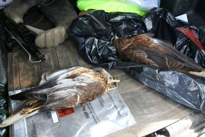 Marsh Harriers poisoned Nene 2013